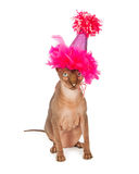 Funny Hairless Cat Wearing Birthday Hat Royalty Free Stock Photo