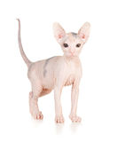 Funny hairless sphynx kitten Royalty Free Stock Photo