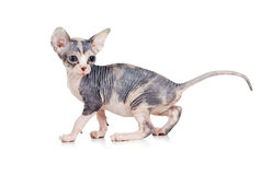Funny hairless sphynx kitten Royalty Free Stock Photography