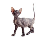 Funny hairless sphynx kitten isolated Royalty Free Stock Photo