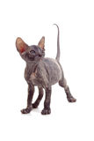 Funny hairless sphynx kitten isolated Stock Image