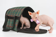 Funny hairless sphynx kitten on white background Royalty Free Stock Photo