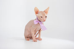 Funny hairless sphynx kitten on white background Royalty Free Stock Images