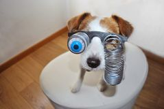 FUNNY HALLOWEEN OR CARNIVAL  DOG WEARING A ZOMBIE BLOODSHOT EYES GLASSES. FUNNY HALLOWEEN OR CARNIVAL DOG WEARING A ZOMBIE BLOODSHOT EYES GLASSES stock photo