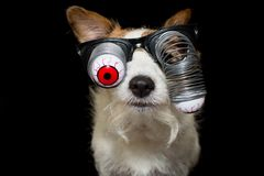 FUNNY HALLOWEEN DOG WEARING A ZOMBIE BLOODSHOT EYES GLASSES. ISO royalty free stock images