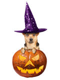 Funny Halloween dog witch hat peeping scary pumpkin isolated Royalty Free Stock Images