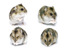 Funny hamster. In the photo presented the hamster from different angles Royalty Free Stock Photography