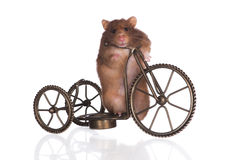 Funny hamster on a bicycle Royalty Free Stock Image