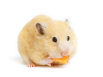 Funny hamster eats Stock Images