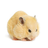 Funny hamster eats Royalty Free Stock Photos