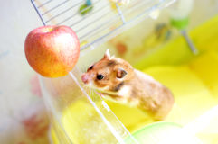 Funny hamster gets out of his cage Stock Photos