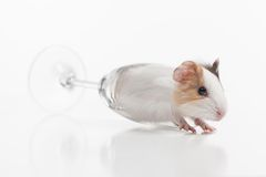 Funny hamster knocked down glass on white background. Stock Photography