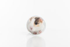 Funny hamster sitting in glass reflecting in ground. Royalty Free Stock Photos