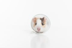 Funny hamster sitting in glass on white background. Royalty Free Stock Photos