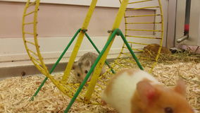 Funny Hamster on Wheel in Cage stock video footage