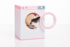 Funny hamsters sitting in washing machine. Royalty Free Stock Image