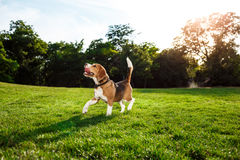 Free Funny Happy Beagle Dog Walking, Playing In Park. Stock Photography - 89636732