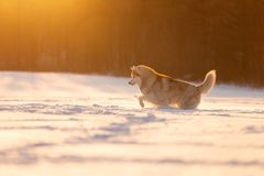 Funny, happy and cute beige and white dog breed siberian husky running on the snow in the winter field at golden sunset. Portrait of funny, happy and cute beige royalty free stock photography