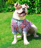 Funny happy dog in clothes Stock Image