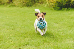 Funny happy dog playing with toy running on camera Royalty Free Stock Photography