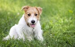 Funny happy dog puppy panting in a hot summer. Funny happy jack russell terrier pet dog puppy panting in a hot summer stock photography
