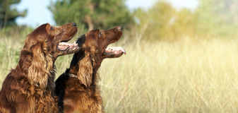 Funny happy dogs banner Stock Image