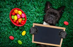 Happy easter dog with eggs. Funny happy french bulldog easter bunny dog with a lot of eggs around and basket on grass , holding a blank empty banner or placard royalty free stock photos