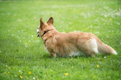 Pembroke Welsh Corgi Dog Playing In Green Grass stock photography