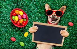 Happy easter dog with eggs. Funny happy podenco easter bunny dog with a lot of eggs around and basket on grass , holding a blank empty banner or placard royalty free stock photography