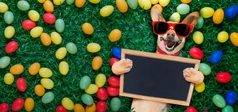 Hapy easter dog with eggs. Funny happy podenco easter bunny dog with a lot of eggs around and basket on grass , holding a blank empty banner or placard stock image