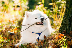 Funny Happy White Samoyed Dog Outdoor in Autumn Forest, Park Stock Image