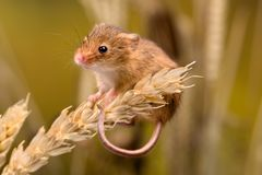 Funny Harvest Mouse. Micromys minutus or Harvest Mouse in wheat field Royalty Free Stock Photos
