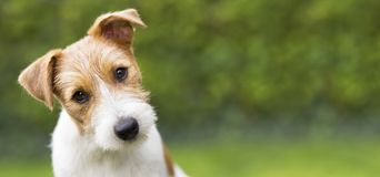 Funny head of a happy cute puppy pet dog - web banner idea. Funny head of a happy cute jack russell puppy pet dog - web banner with copy space royalty free stock photo
