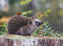 Funny hedgehog Royalty Free Stock Photos