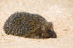 Funny hedgehog Royalty Free Stock Photo