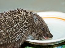 Funny hedgehog drinks a milk Royalty Free Stock Images