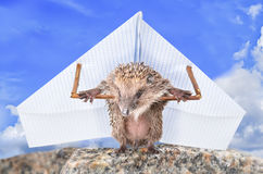 Funny hedgehog learns to fly Stock Images