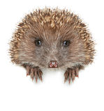 Funny Hedgehog sits on a white banner Royalty Free Stock Images