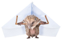 Funny hedgehog standing with a paper paraplane. Isolated on a white background Stock Photography