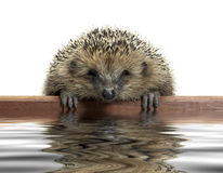 Funny hedgehog Royalty Free Stock Photography