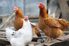 Funny hens on farm yard stock image