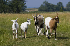 Funny herd of goats. Walking across the meadow Stock Image