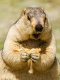 Funny himalayan marmot groundhog with bisсuit on the green meadow. In the vicinity of Pangong Tso Lake Himalayas, Ladakh, India royalty free stock photography