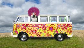 Funny Hippie Dog, VW Bus. A funny dog, hippie bulldog is riding in a retro VW van bus. The peace Volkswagen carries the doggy who has large pink afro hair and royalty free stock photo