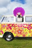 Funny Hippie Dog, VW Peace Bus Van. Funny hippie dog with purple or violet afro hair. The bulldog is riding in a VW or Volkswagen mini bus peace van Stock Photos
