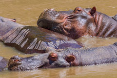 Funny Hippopotamuses. Seen in the Mara River, which runs through the Masai Mara, Kenya, this picture of Hippos shows how the females will all congregate together stock photography