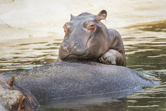 Funny hippos royalty free stock photography