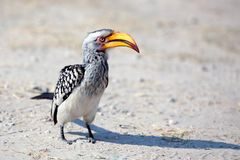 Hornbill bird with bright yellow beak stands on the ground close up on safari in Chobe National Park, Botswana, Southern Africa stock image