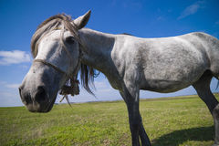 Funny horse. A beautiful dapple-grey horse with funny facial expression standing on a green meadow in front of blue sky background and looking at the camera Royalty Free Stock Photo