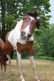 Funny horse. A brown and white horse shaking its head while chewing hay outdoors Stock Image